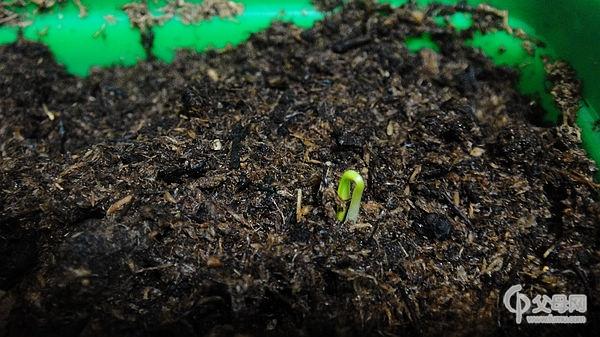 8天后,小种子终于发芽了